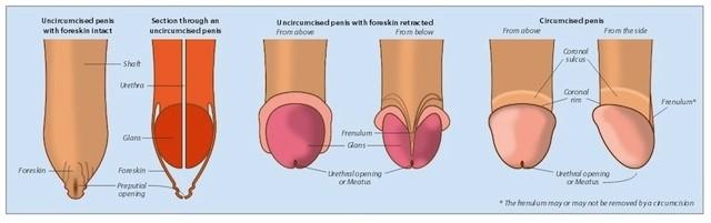 creșterea celulelor penisului penis la erecție